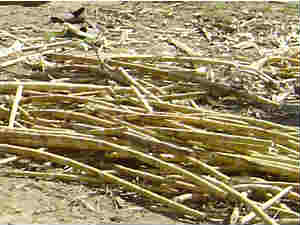 Sugar forecast down with lower acreage