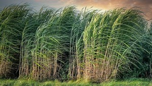 Govt To Add Rs 3 500 Cr Subsidy Directly To Bank Accounts Of Sugarcane Farmers